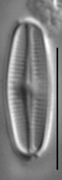 Achnanthidium kranzii LM2