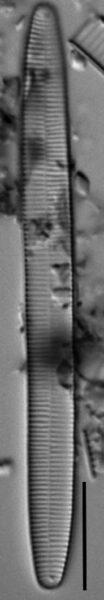 Fragilariforma nitzschioides LM3