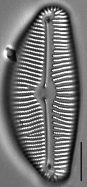 Encyonema leibleinii LM5
