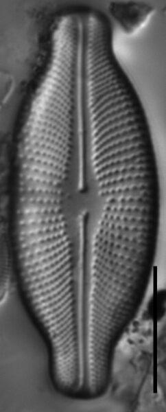 Cosmioneis hawaiiensis LM2
