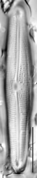Frustulia creuzburgensis LM7