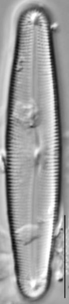 Frustulia creuzburgensis LM4