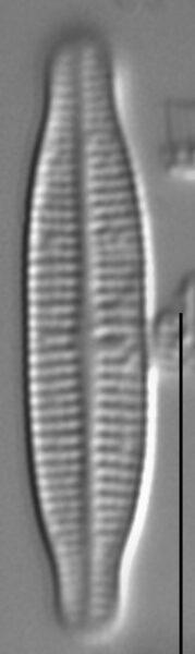 Achnanthidium gracillimum LM2