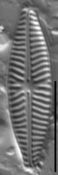 Navicula reichardtiana LM1