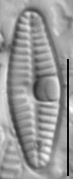 Planothidium frequentissimum LM2