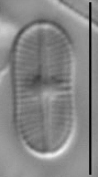 Psammothidium didymum LM6