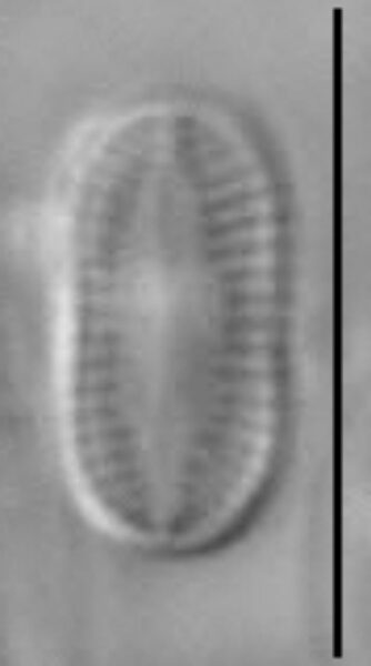 Psammothidium didymum LM2