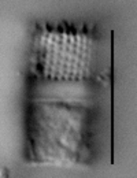 Aulacoseira nivaloides LM3
