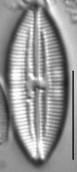 Mastogloia pumila LM6