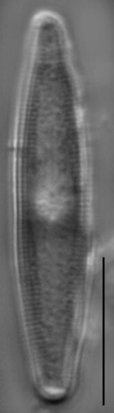 Nupela poconoensis LM3