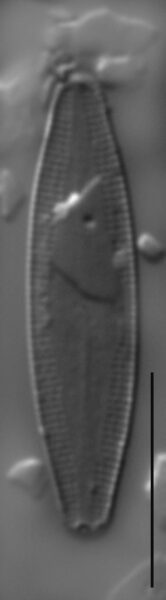 Nupela poconoensis LM4