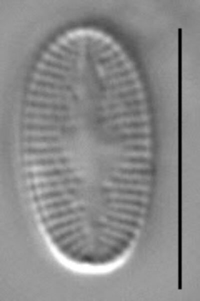Psammothidium levanderi LM7