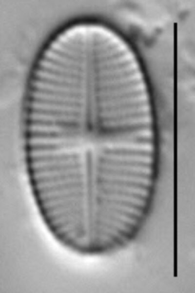 Psammothidium levanderi LM5