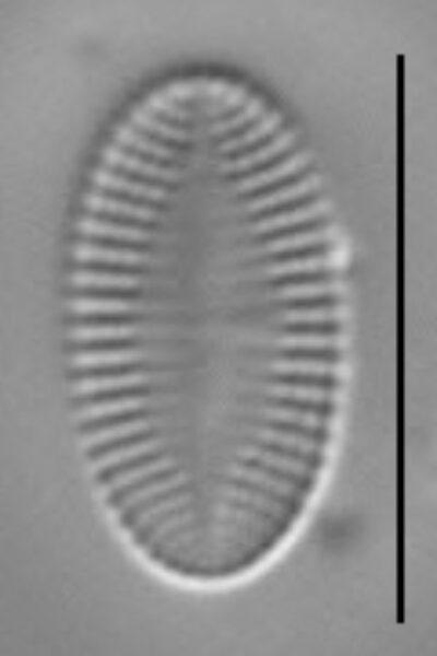 Psammothidium levanderi LM4