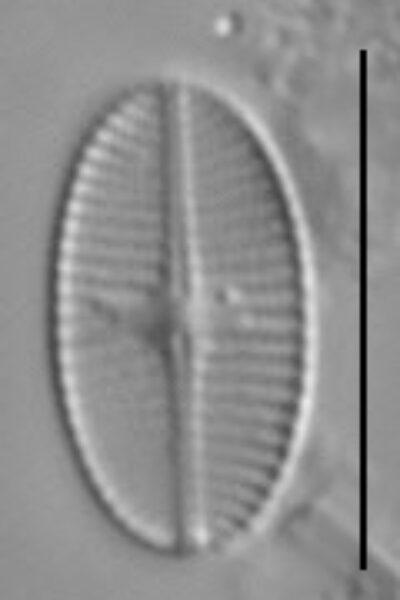 Psammothidium levanderi LM3