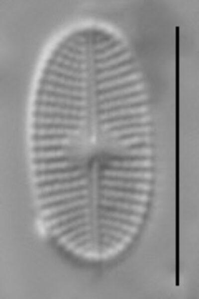 Psammothidium levanderi LM2