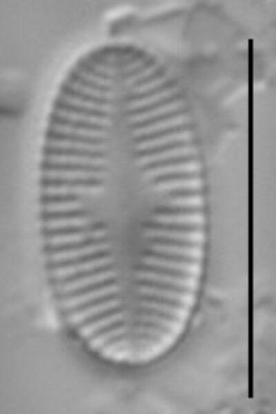Psammothidium levanderi LM1