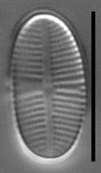 Psammothidium pennsylvanicum LM5