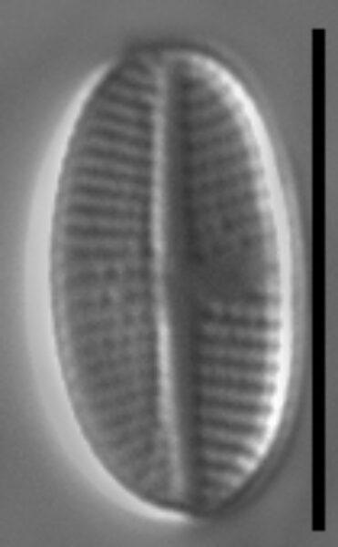 Stauroneis subborealis LM7