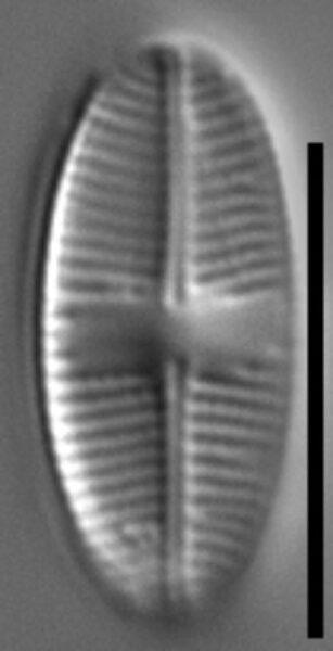 Psammothidium pennsylvanicum LM2