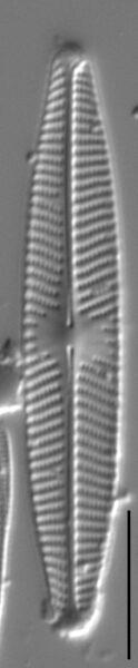 Navicula angusta LM7