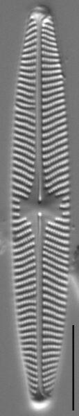 Navicula angusta LM6