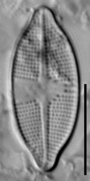 Psammothidium harveyi LM5