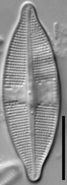 Psammothidium harveyi LM4