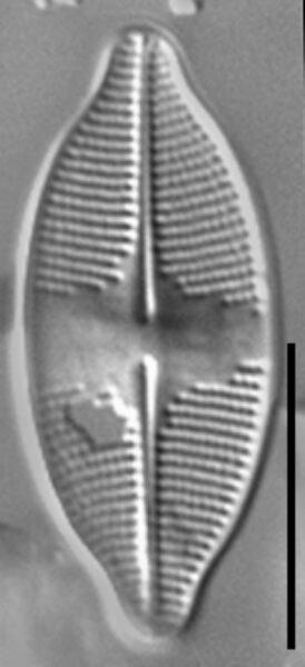 Psammothidium harveyi LM1