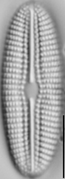 Diploneis calcicolafrequens LM1