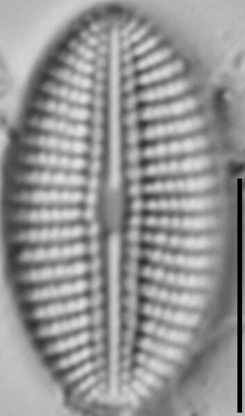 Diploneis calcicolafrequens LM4