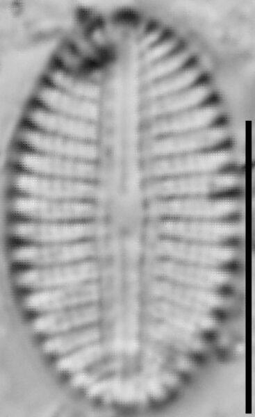 Diploneis calcicolafrequens LM8