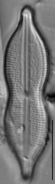 Neidiomorpha binodiformis LM6