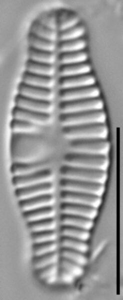 Planothidium haynaldii LM6