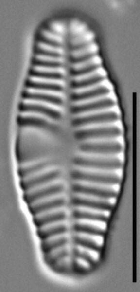 Planothidium haynaldii LM5