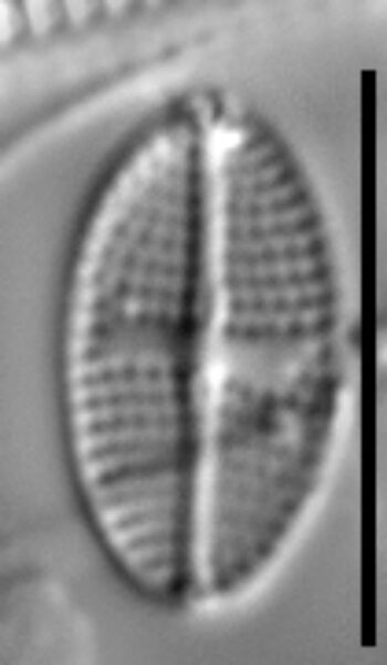 Stauroneis subborealis LM1