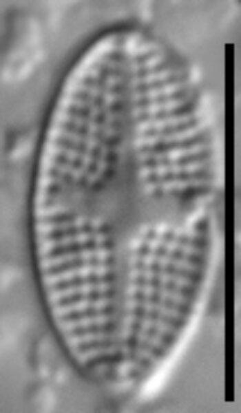 Stauroneis subborealis LM6
