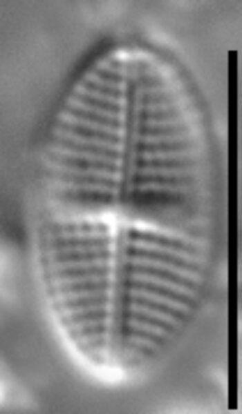 Stauroneis subborealis LM3