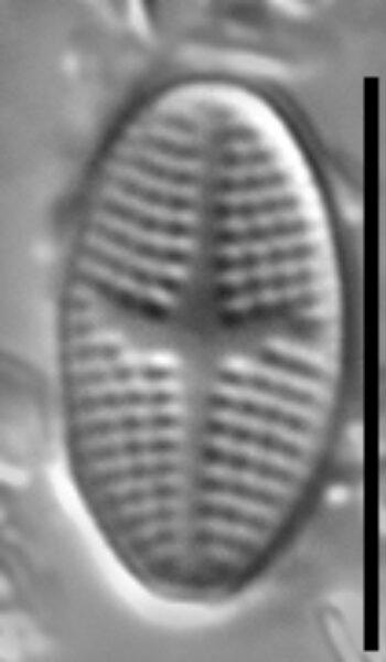 Psammothidium semiapertum LM2