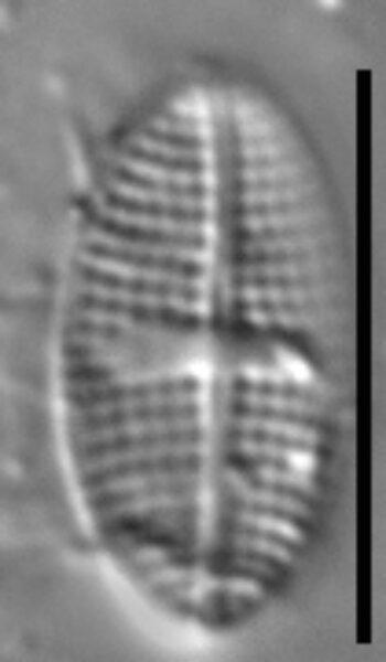 Psammothidium semiapertum LM1