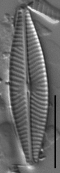 Navicula cryptocephala LM3