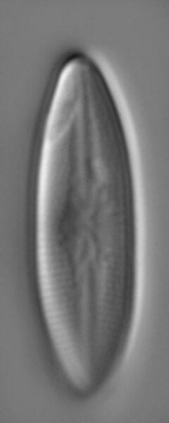 Nupela frezelii LM1