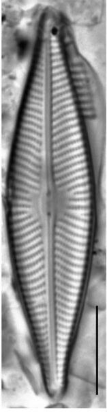 Navicula trivialis LM6