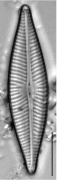 Navicula trivialis LM4