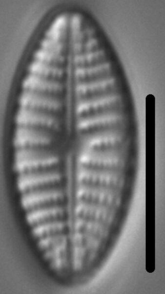 Navicula cascadensis LM2