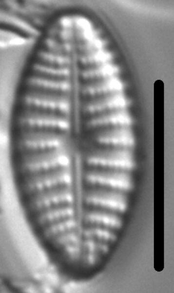 Navicula cascadensis LM5