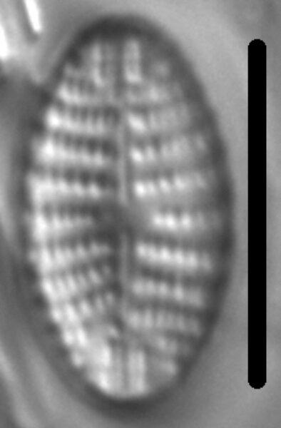 Navicula cascadensis LM6