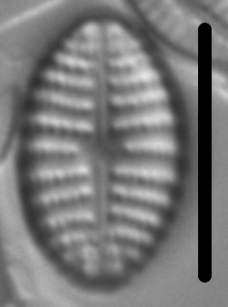 Navicula cascadensis LM7