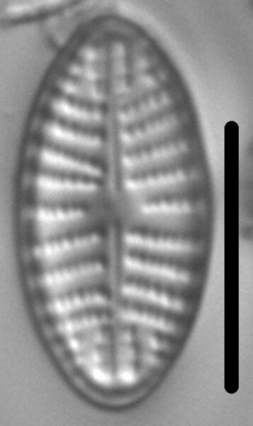 Navicula cascadensis LM4