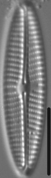 Navicula eidrigiana LM6
